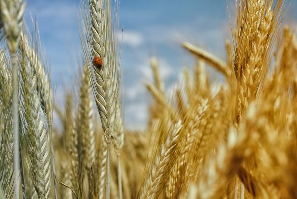 wheatfeild.jpeg